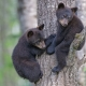 Two black bear cubs climb a tree